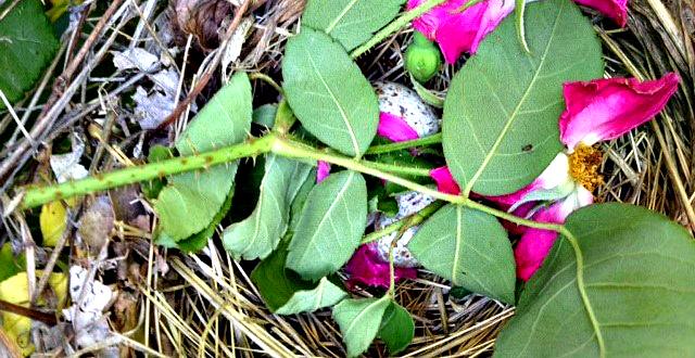 Rose Nest